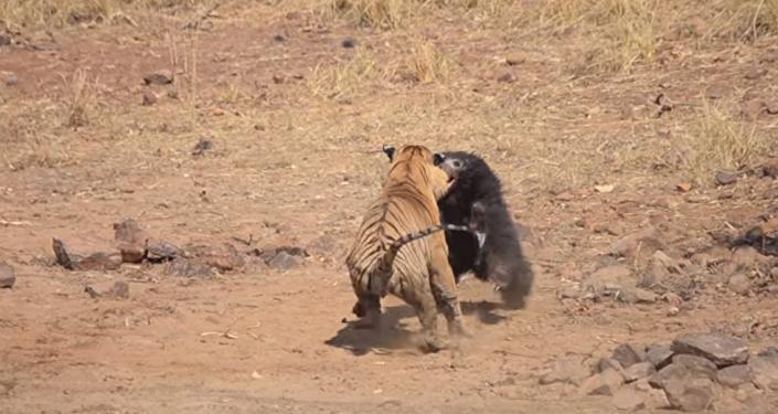La lucha a vida o muerte entre un tigre y una osa