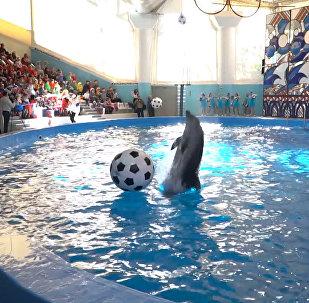 Animales marinos se preparan para el Mundial 2018 jugando al fútbol en el delfinario de Sochi