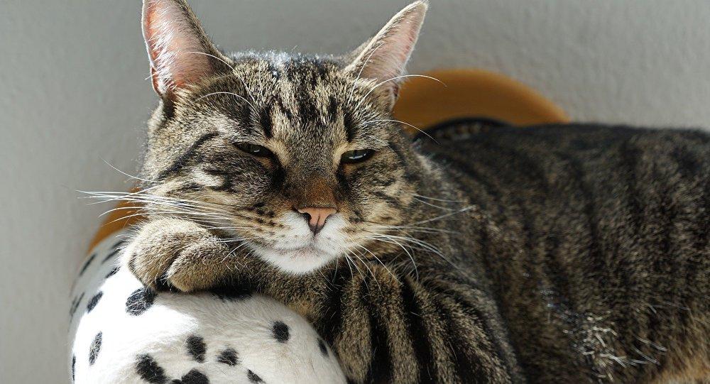 Un gato con sueño