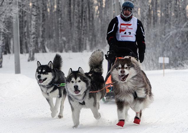 Un trineo tirado por perros (imagen referencial)
