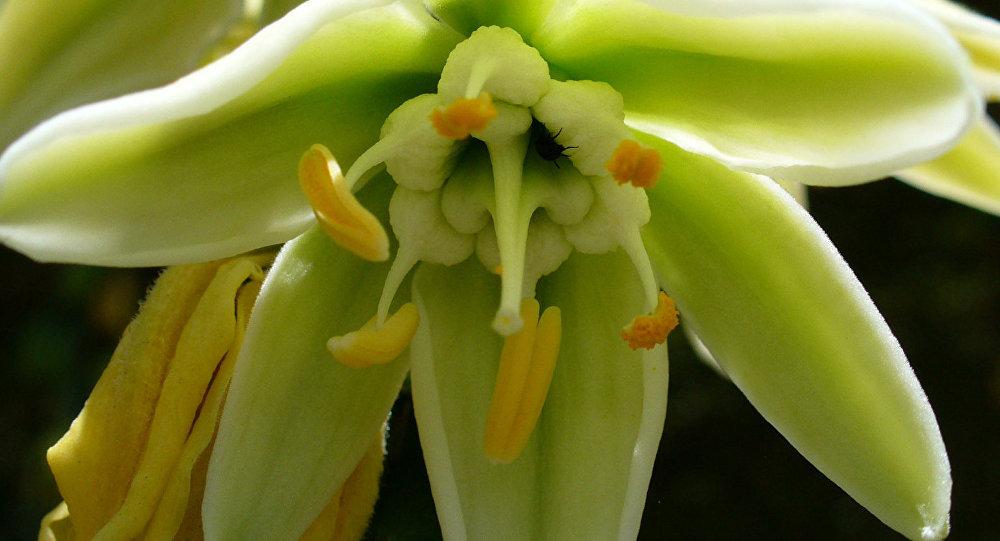 Furcraea longaeva (imagen ilustrativa)