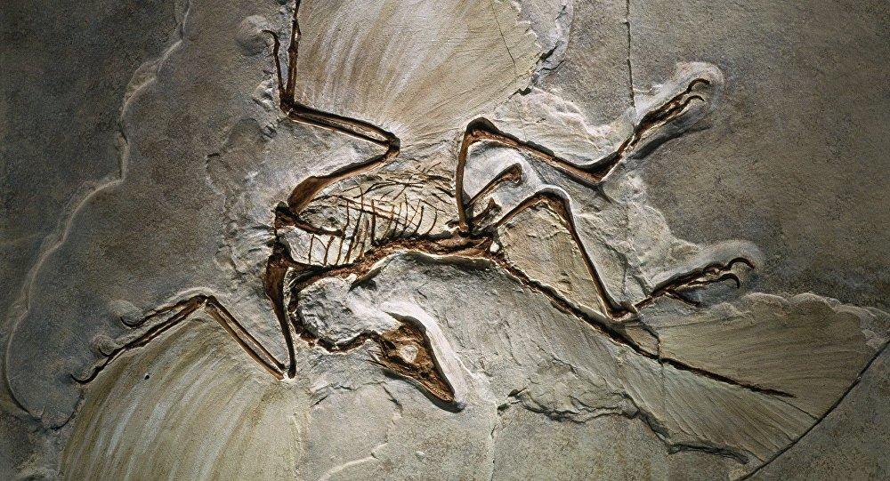Fósil del Archaeopteryx lithographica, encontrado en la Jurassic Solnhofen Limestone of southern Germany.