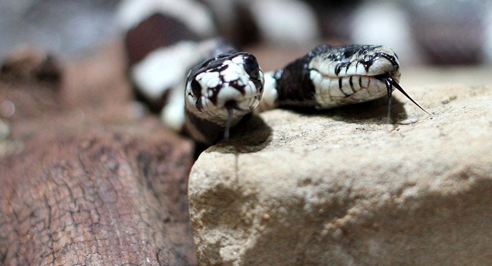 Hallaron una serpiente con dos cabezas y dos corazones