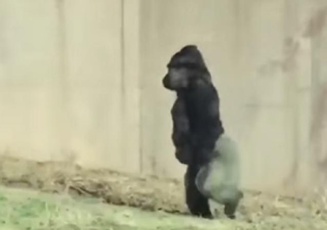 El gorila que camina sobre dos patas... para no mancharse