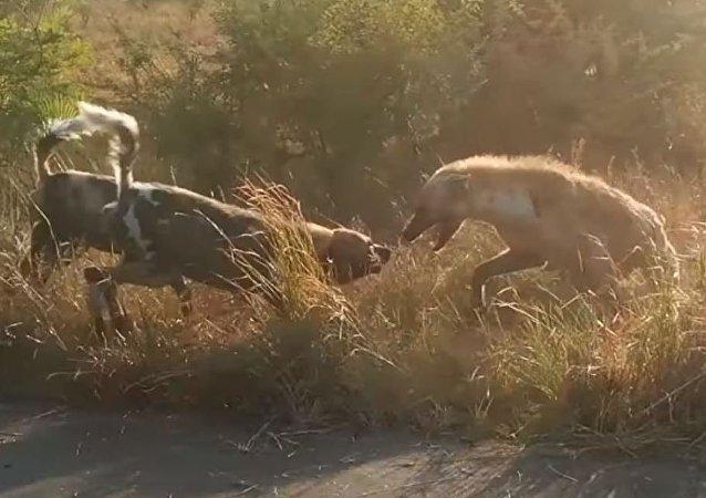 Una pelea brutal entre perros y hienas, vista desde cerca