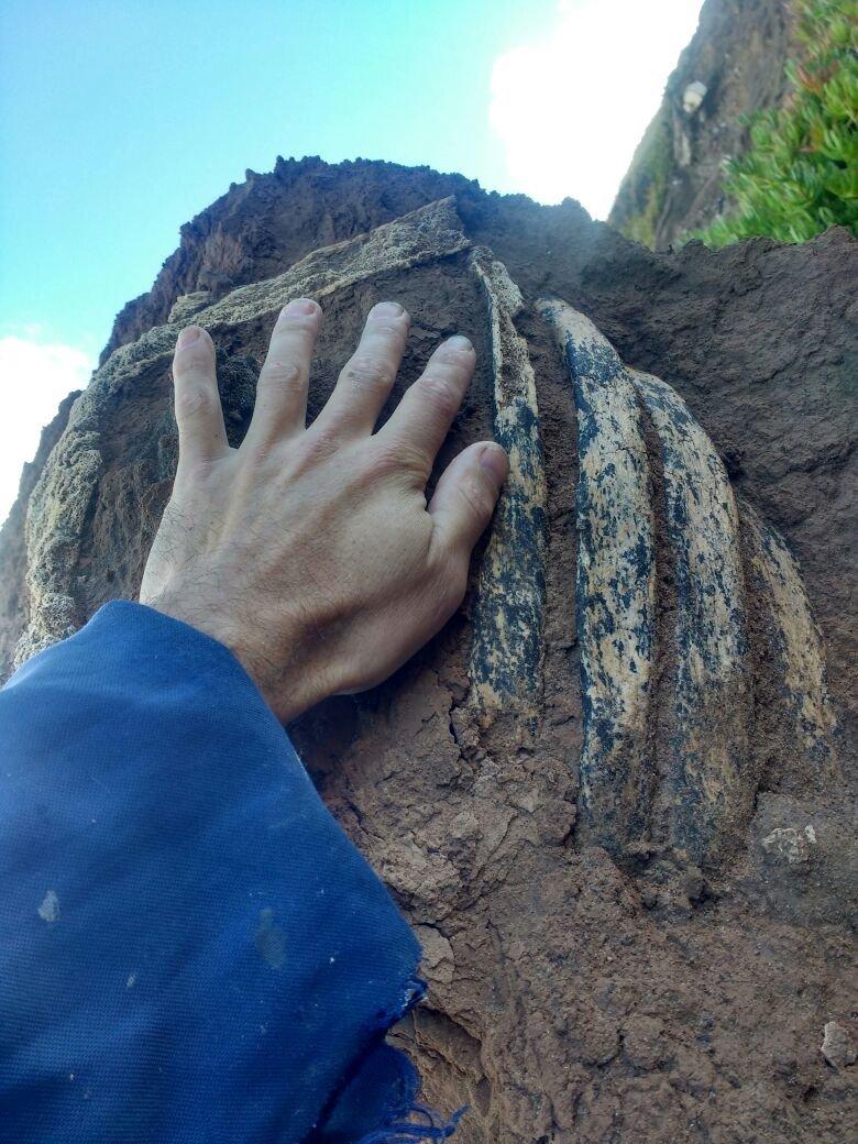 Fósiles de perezoso terrestre gigante pertenecen a la última era glacial de la Tierra.