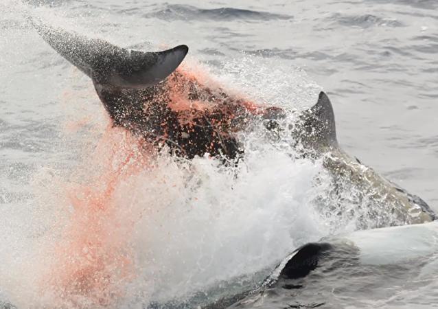 Cincuenta orcas sedientas de sangre persiguen a una ballena herida en Australia