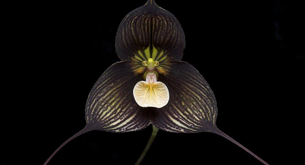 Dracula vampira (orquídea)