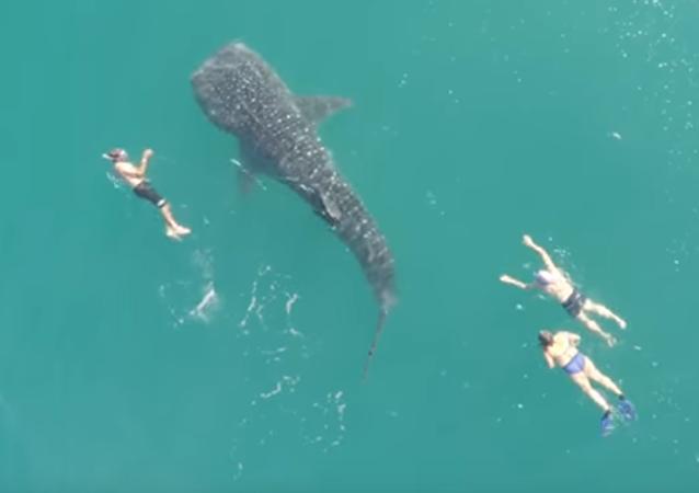 Turistas se dan un chapuzón con el mayor tiburón de la Tierra