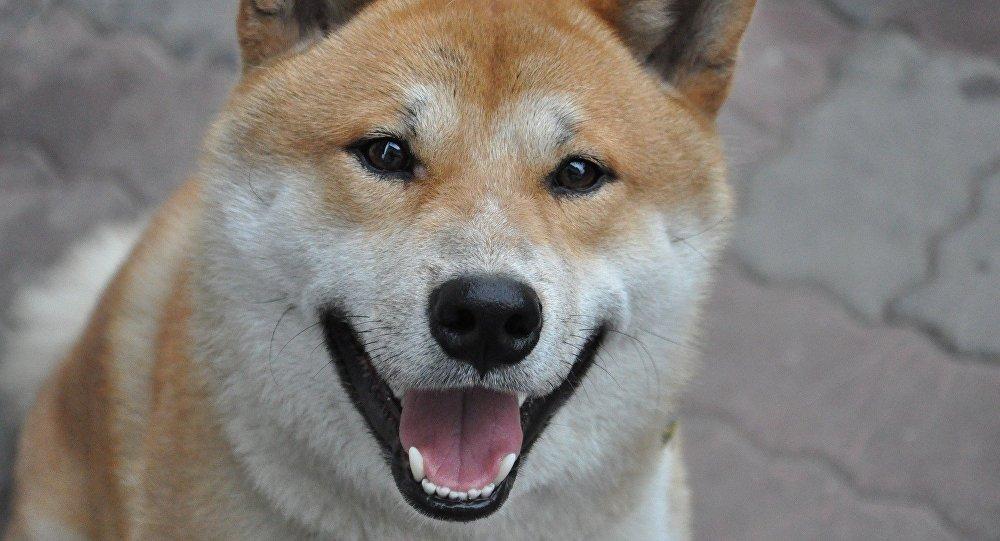 Un perro de la raza Shiba Inu (archivo)