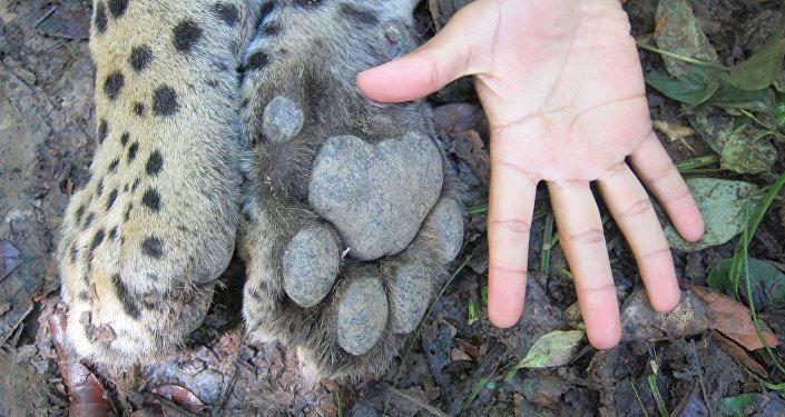 El jaguar, uno de los felinos más bellos y temidos de América