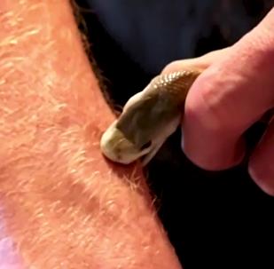 Un hombre inmune al veneno de serpientes mortíferas