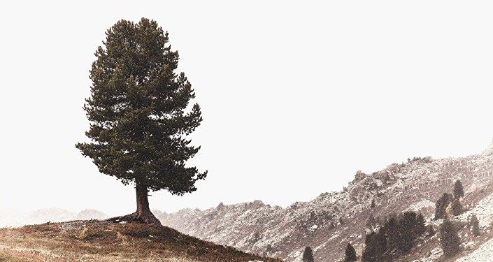 Un pino (imagen referencial)