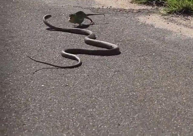 Batalla a vida o muerte entre una serpiente y un camaleón