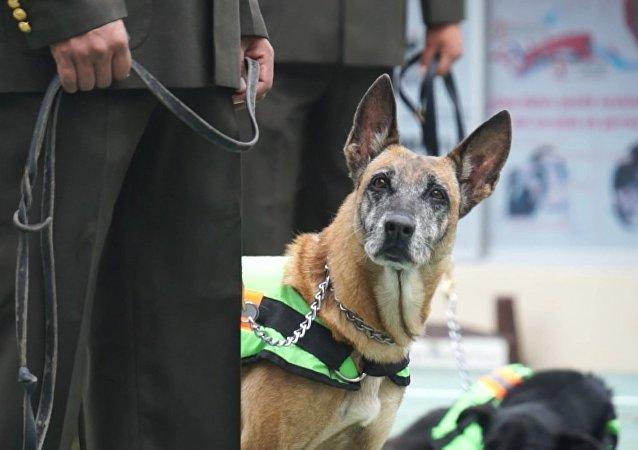 Decenas de perros policía dejan el uniforme y pasan a la vida civil en Ecuador