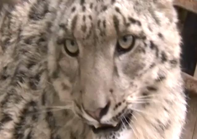 Final feliz para un leopardo de las nieves desnutrido
