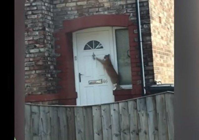 Un gato que sabe llamar a la puerta se convierte en una estrella de internet