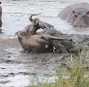 Hipopótamos salvan un ñu de las mandíbulas de un cocodrilo