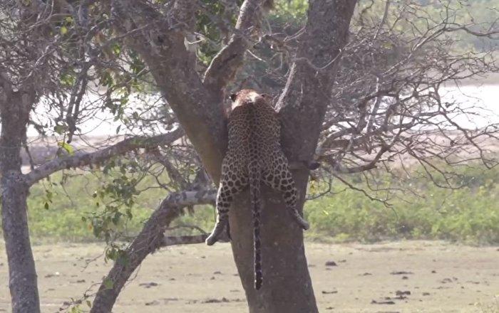 Filman el feroz enfrentamiento de dos leopardos