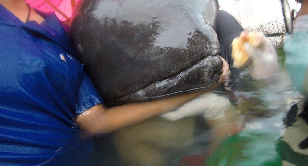 Una ballena intentando ser rescatada