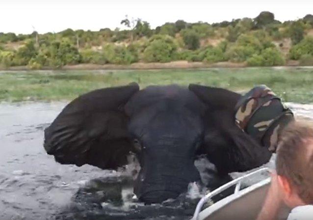 Ataque de un elefante en el rio Chobe, Botsuana