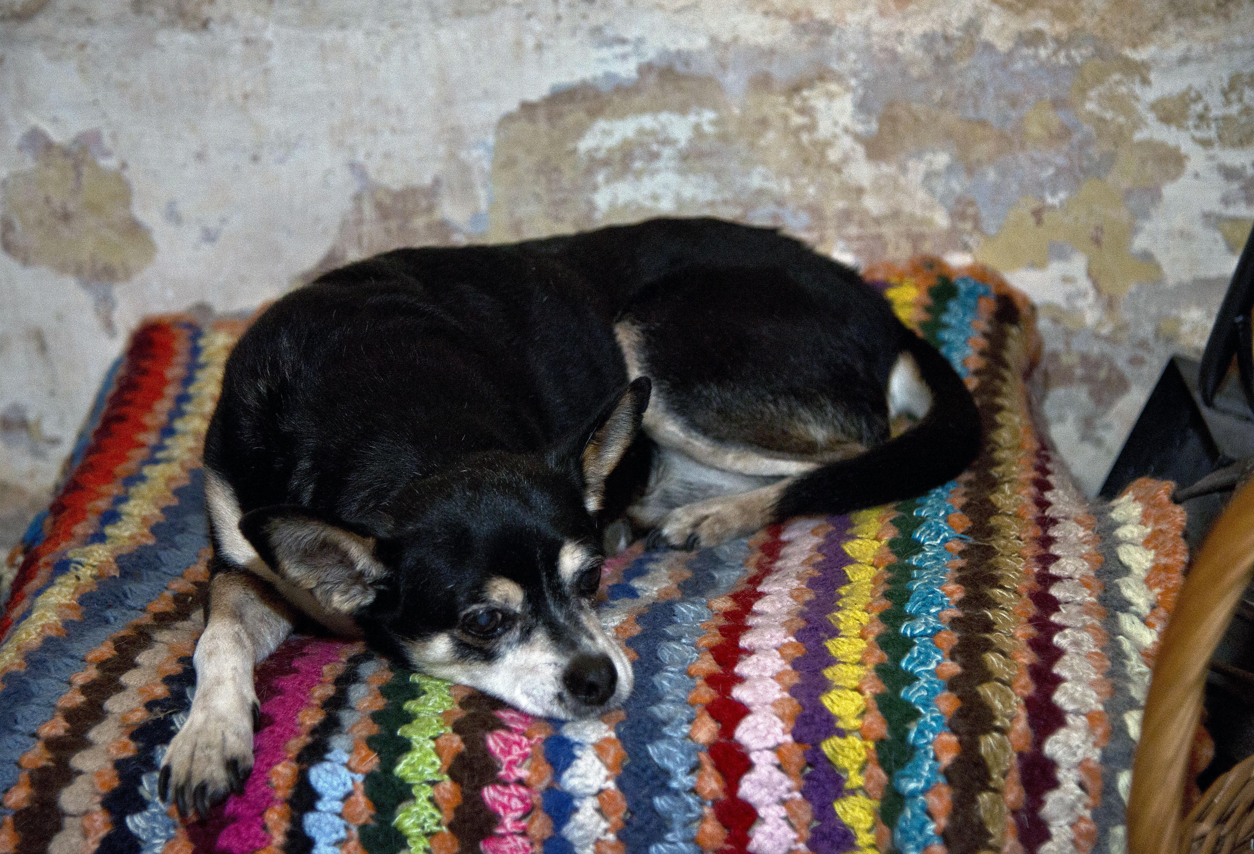 Manuela, la perra de tres patas del expresidente de Uruguay, José Mujica