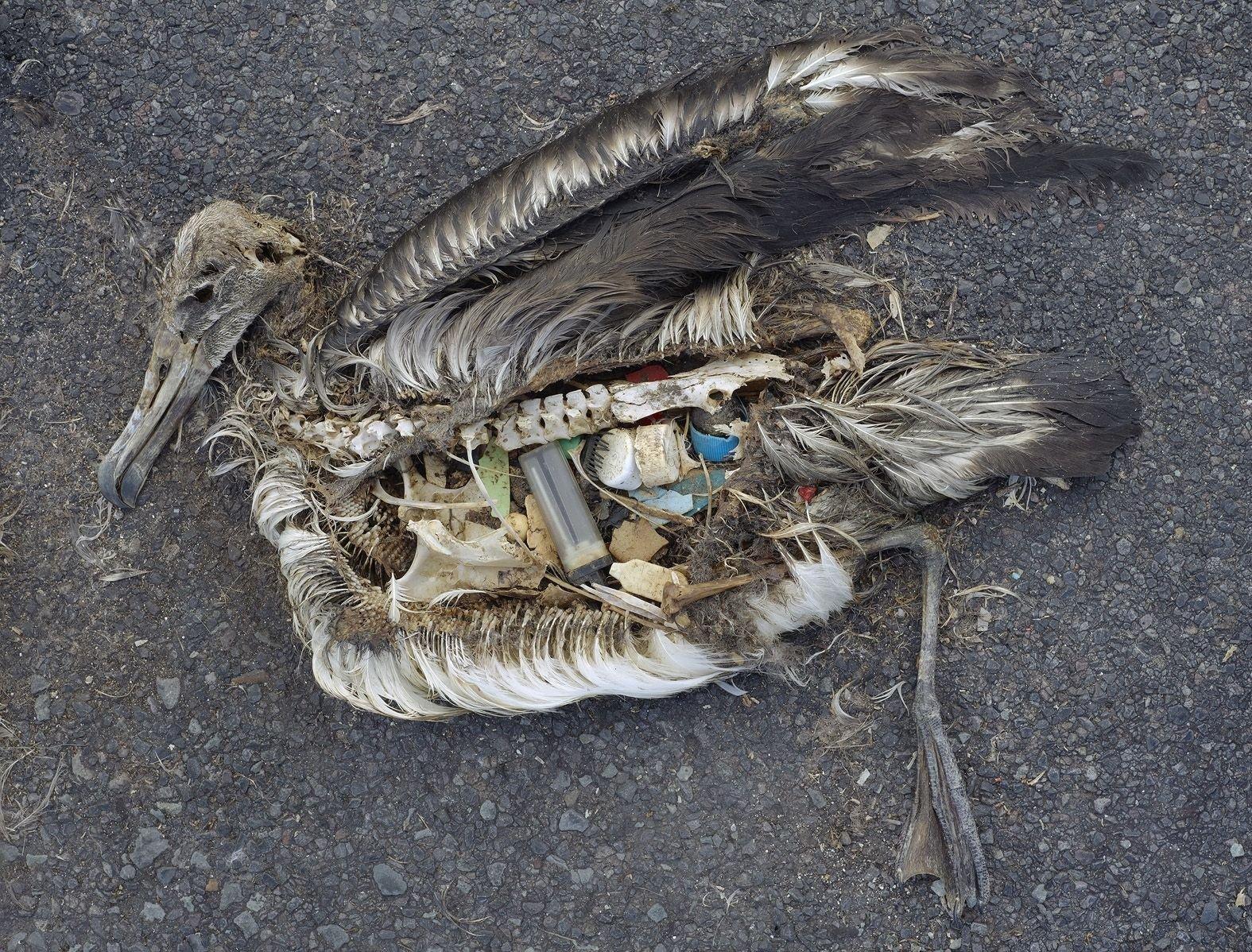 Albatros muerto disecándose; los desechos de plástico que había digerido permanecen.