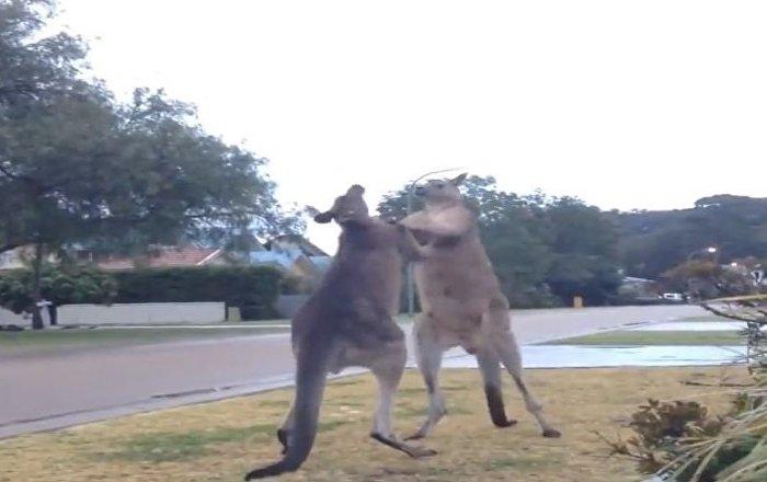 'Artes marsupiales': graban una dura pelea entre dos canguros