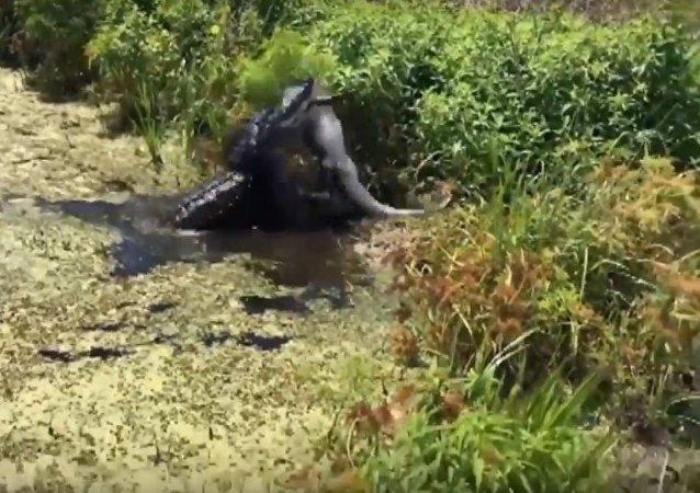 Un caimán ataca y devora a otro caimán