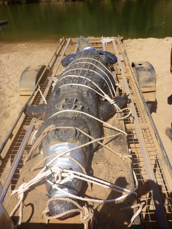 Cocodrilo de 600 kilos capturado en Australia