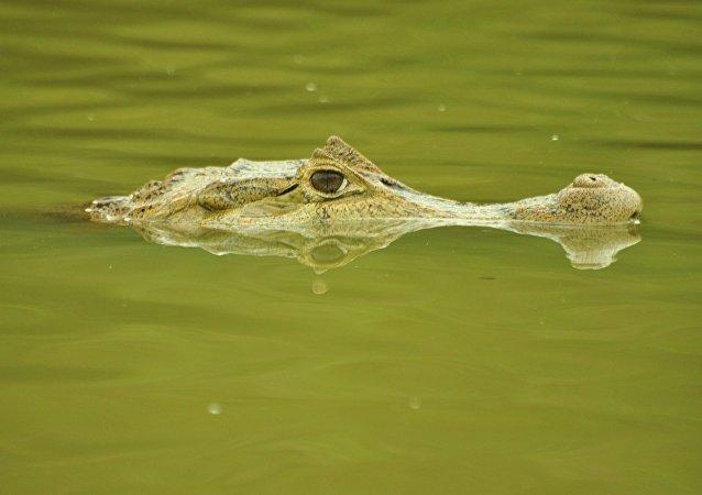 Un cocodrilo (archivo)