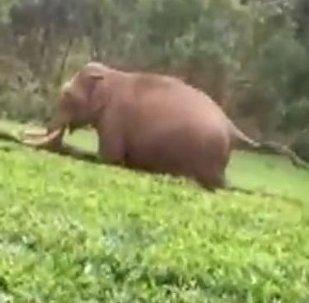 Un elefante salvaje ataca a un hombre