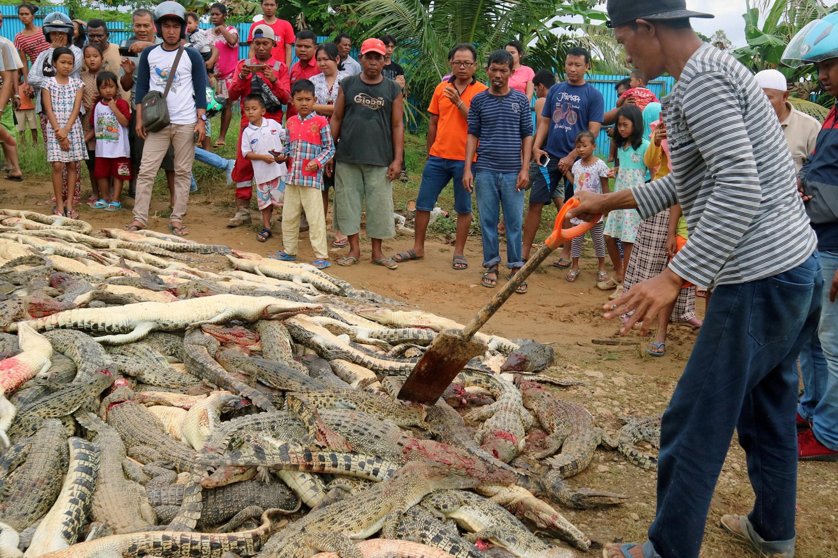 Los cadáveres de cientos de cocodrilos asesinados en Indonesia por la muerte de un humano
