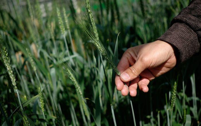 Цветение пшеницы в фитотронно-тепличном комплексе в Национальном центре зерна имени П. П. Лукьяненко в Краснодаре