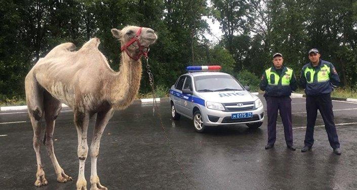 Un camello sale a la carretera en Rusia