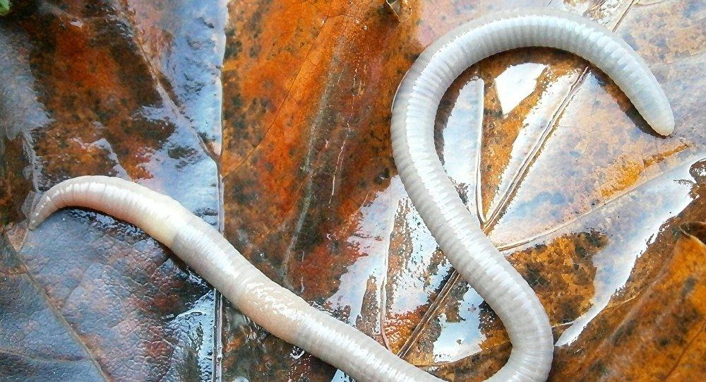 Un gusano, imagen referencial