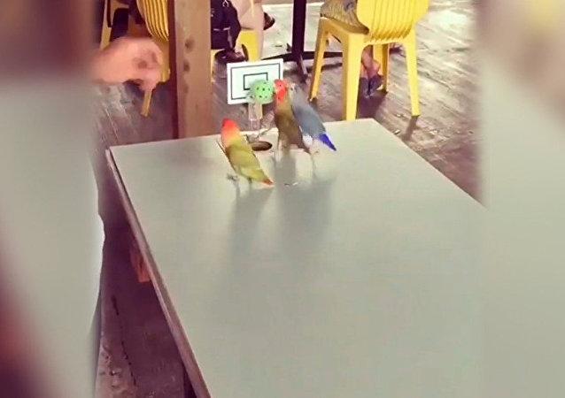 Los loros en Venezuela saben jugar al baloncesto
