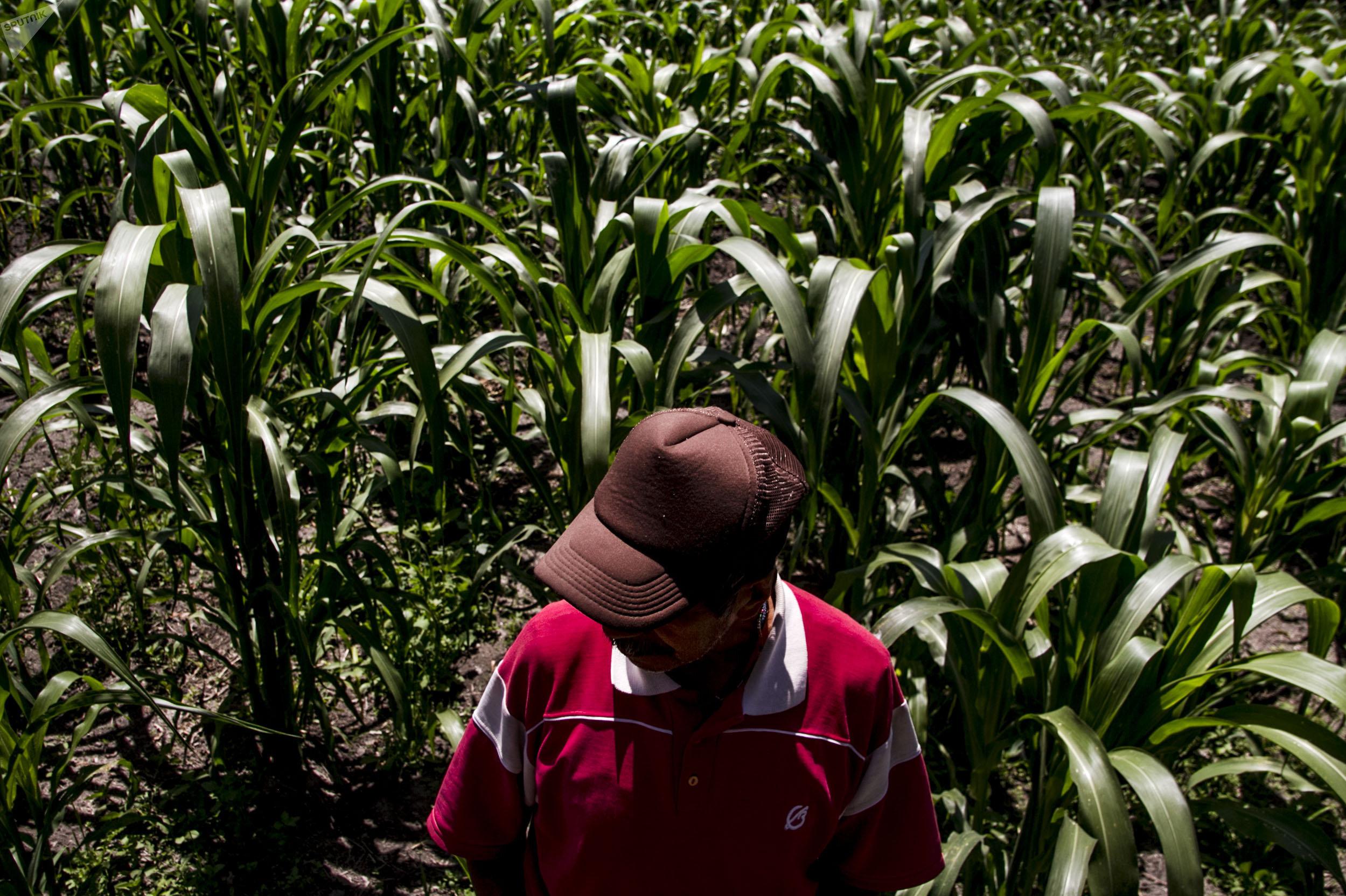 Dionisio, campesino de Xochimilco, muestra los cultivos de maíz en la chinampa