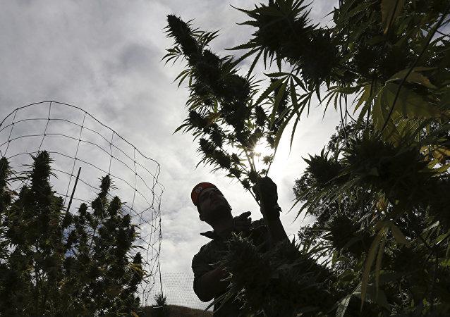 Un trabajador en una plantación cannábica en California (archivo)