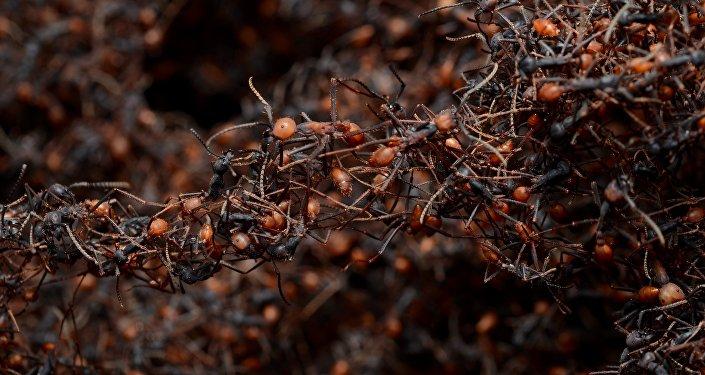 Hormigas guerreras (archivo)