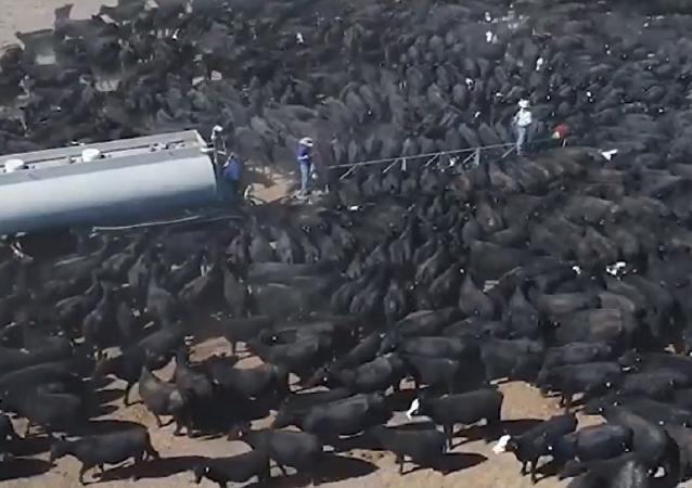 Dramáticas imágenes: cientos de vacas moribundas rodean un camión cisterna en Australia
