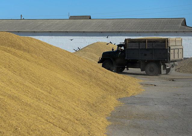 La cosecha de trigo en la región de Novosibirsk