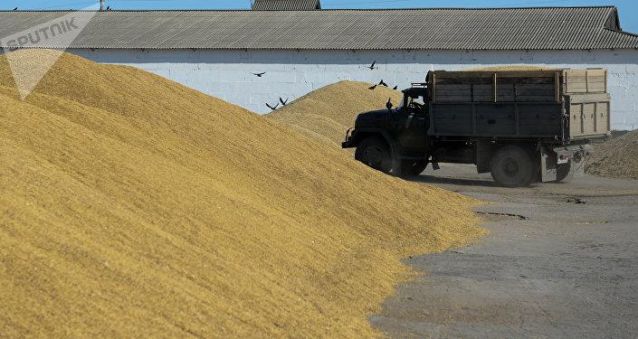El cosecho de trigo en la región de Novosibirsk