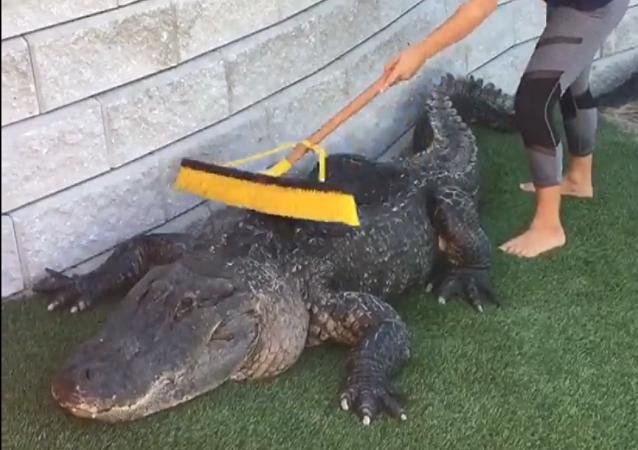Una muchacha cepilla a un tierno cocodrilo