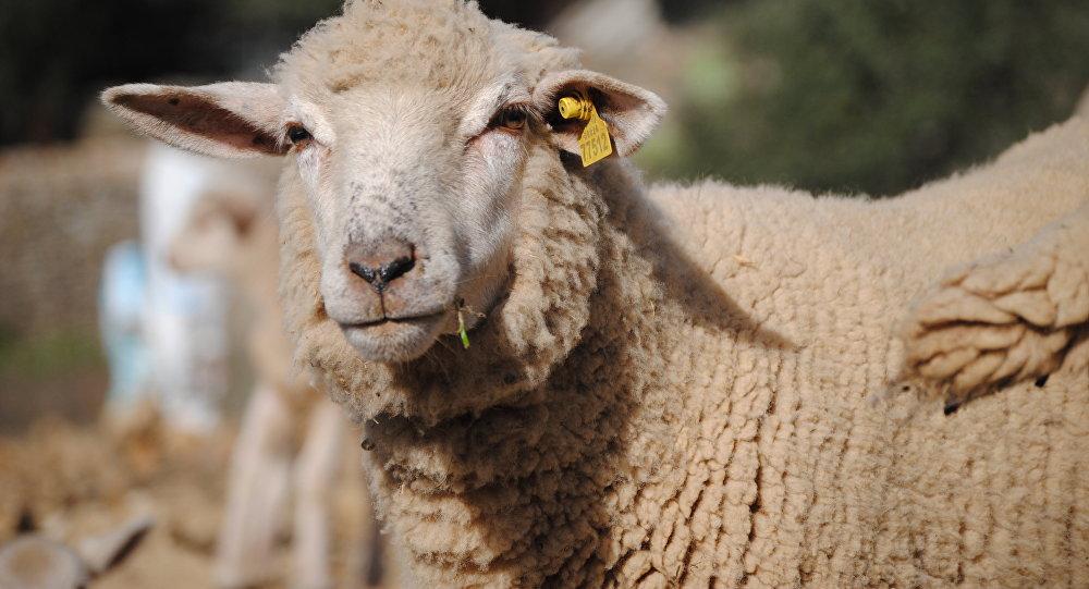 Una oveja (imagen referencial)