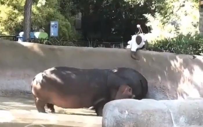 La nalgada que dejó indiferente a una hipopótama llamada Rosie