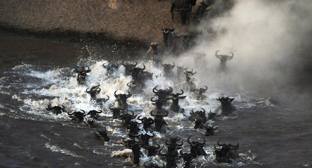 Miles de antílopes cruzan un río infestado de cocodrilos hambrientos