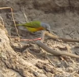Una pequeña y tierna ave devora las vísceras de una serpiente (todavía viva)