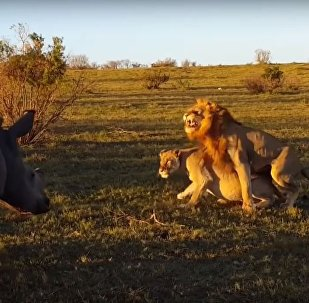 Un rinoceronte interrumpe el coito de los leones