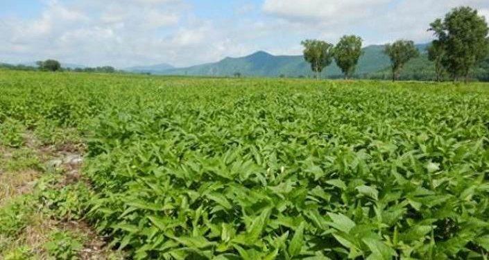 Por ahora la soja es el principal cultivo de la comunidad de viejos creyentes de Dersu